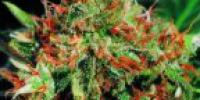 Sagarmatha Seeds - Slyder cannabis seeds