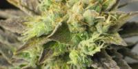 Sagarmatha Seeds - Strawberry Diesel cannabis seeds