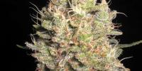 Samsara Seeds - Crazy Miss Hyde cannabis seeds