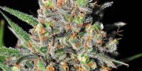 Samsara Seeds - Green Love Potion cannabis seeds