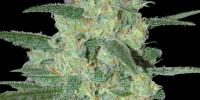 Samsara Seeds - Holy Grail 69 cannabis seeds