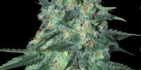 Samsara Seeds - Jekyll Passion cannabis seeds