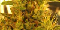 The Sativa Seedbank - Haze 1 cannabis seeds
