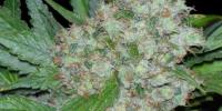 Seedsman - Mama Mia cannabis seeds