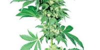 Sensi Seeds - Afghani #1 cannabis seeds