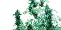 Sensi Seeds - Early Skunk cannabis seeds