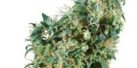 Sensi Seeds - First Lady cannabis seeds