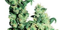Sensi Seeds - Jack Herer cannabis seeds