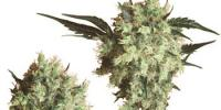 Sensi Seeds - Marleys Collie cannabis seeds