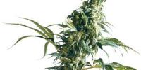 Sensi Seeds - Mexican Sativa cannabis seeds