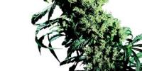 Sensi Seeds - NL 5xHaze cannabis seeds