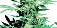Sensi Seeds - Shiva Skunk cannabis seeds