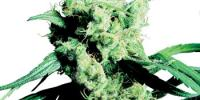 Sensi Seeds - Silver Haze 9 cannabis seeds