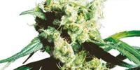 Sensi Seeds - Silver Haze cannabis seeds