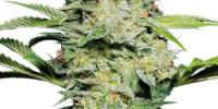Sensi Seeds - Skunk Auto cannabis seeds