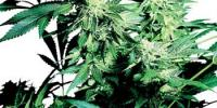 Sensi Seeds - Skunk Kush cannabis seeds