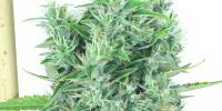 Serious Seeds - Kali Mist cannabis seeds