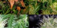 Short Stuff Seeds - Short Stuff Mix Auto cannabis seeds
