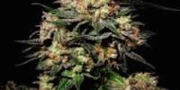 Soma Seeds - Somango cannabis seeds