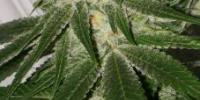 Southern Star Seeds - Chung Lee cannabis seeds
