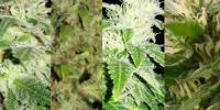 Southern Star Seeds - Hybrid All Stars cannabis seeds
