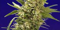 Spliff Seeds - Afghani Gold cannabis seeds