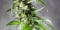 Spliff Seeds - Jack F1 cannabis seeds