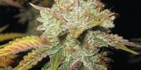 Spliff Seeds - Master Kush cannabis seeds