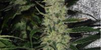Spliff Seeds - Super Skunk cannabis seeds
