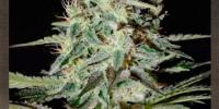 Strain Hunters - White Lemon cannabis seeds