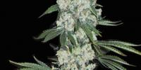 Superstrains - 7th Wave cannabis seeds