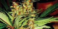 Superstrains - Amajikoym cannabis seeds