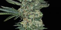 Superstrains - Enemy of the State cannabis seeds