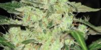Superstrains - Next of Kin cannabis seeds