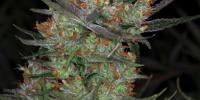 TGA Subcool Seeds - Brian Berry Cough cannabis seeds