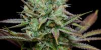 TGA Subcool Seeds - Pennywise cannabis seeds