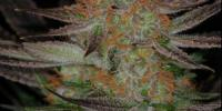 TGA Subcool Seeds - Qrazy Train cannabis seeds