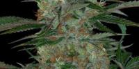 TGA Subcool Seeds - Qush cannabis seeds