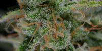 TGA Subcool Seeds - The Third Dimension cannabis seeds