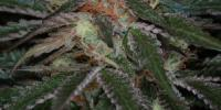 TGA Subcool Seeds - The Void cannabis seeds