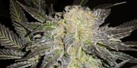 TH Seeds - Mendocino Madness cannabis seeds