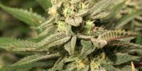 TH Seeds - Mkage cannabis seeds