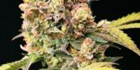 Top Tao - Auto Tao Mix #1 cannabis seeds