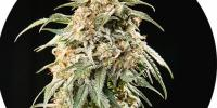Top Tao - Auto Tao Mix #2 cannabis seeds