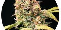 Top Tao - Demon Auto Tao cannabis seeds