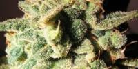 Top Tao - Micron Auto Tao cannabis seeds