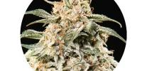 Top Tao - Semi Auto Mix cannabis seeds