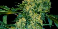 VIP Seeds - Chingis Khan cannabis seeds