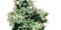 White Label Seeds - Kali Haze cannabis seeds