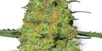 White Label Seeds - Master Kush cannabis seeds